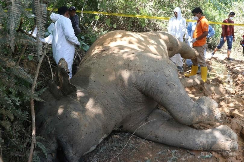 農園でスマトラゾウの死骸発見、毒殺か インドネシア・アチェ州