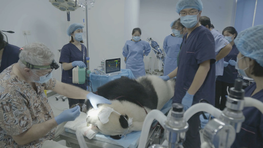 パンダの歯科検診、ほぼ健康な状態 中国・成都