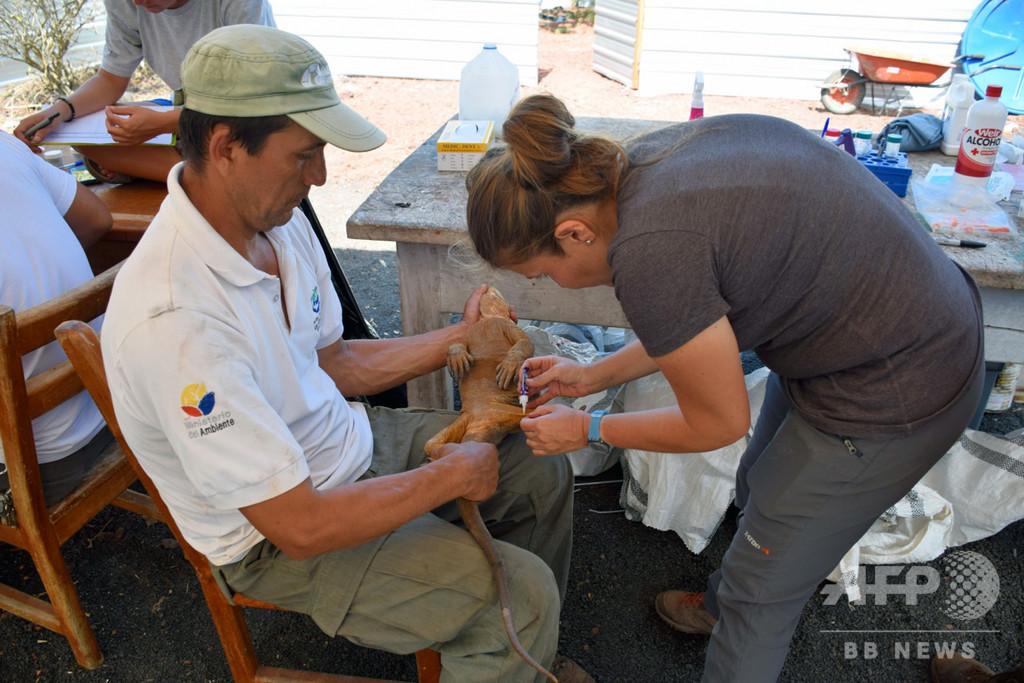 南米ガラパゴス、サンティアゴ島にリクイグアナが戻る 約2世紀ぶり