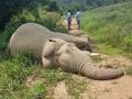 ゾウ2頭が感電死、電気柵設置した農園労働者の行方追う タイ警察