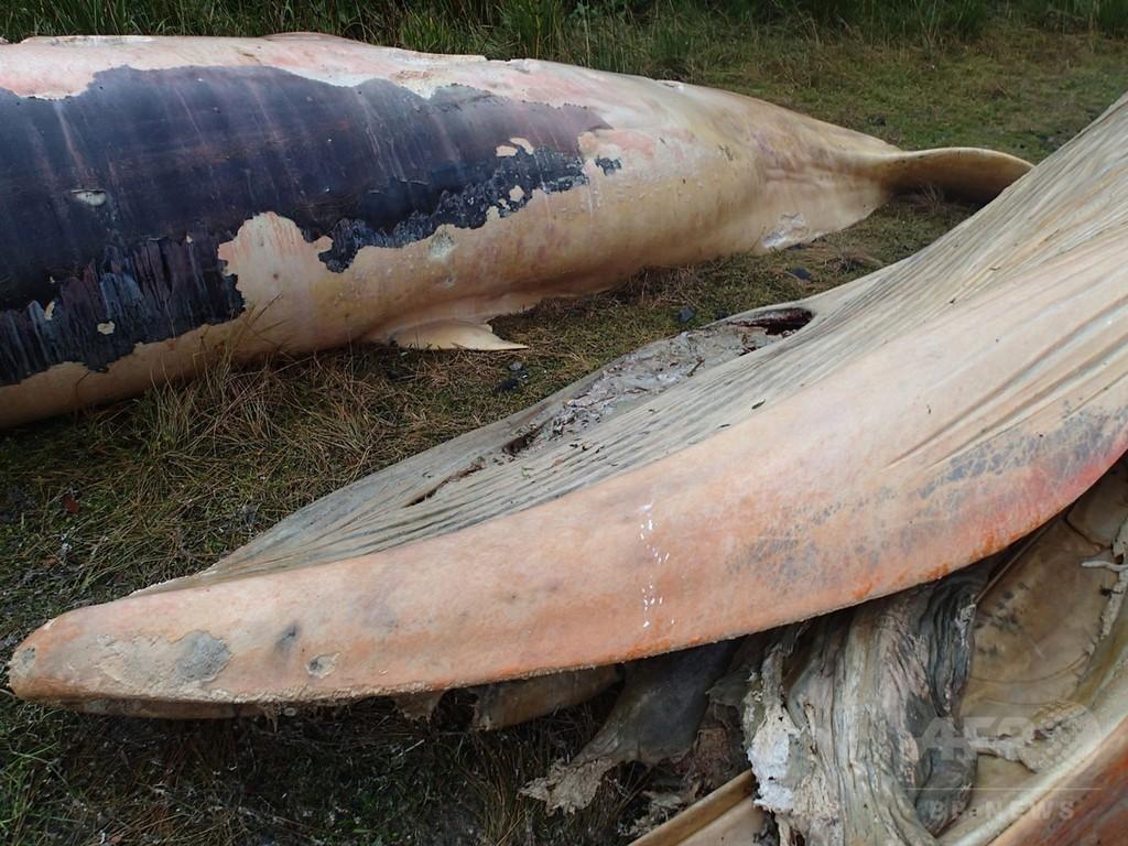 チリ南部の浜辺に20頭以上のクジラの死骸