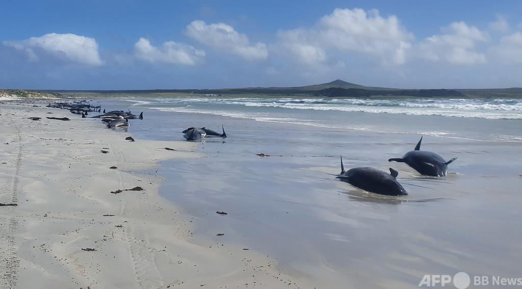 NZ離島にゴンドウクジラの大群漂着、100頭近く死ぬ 28頭安楽死