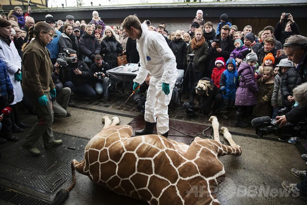 キリンを子供らの目前で解体、ライオンの餌に デンマーク
