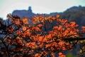 黄山の秋景色、色とりどりに染まる 安徽省