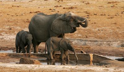 ジンバブエ、子ゾウ24頭を中国へ輸出 保護団体が非難
