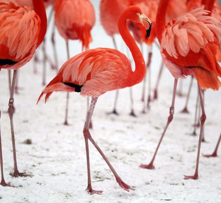 真っ赤なフラミンゴ