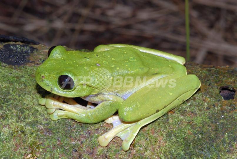 新種生物56種、パプアニューギニアの原生林で発見