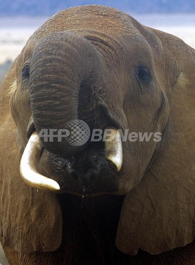 マンモスのゲノム解読に前進、ゾウとの違いは0.6%
