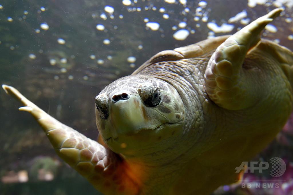 エルサルバドル沖に数百匹の死んだウミガメ、死因調査へ