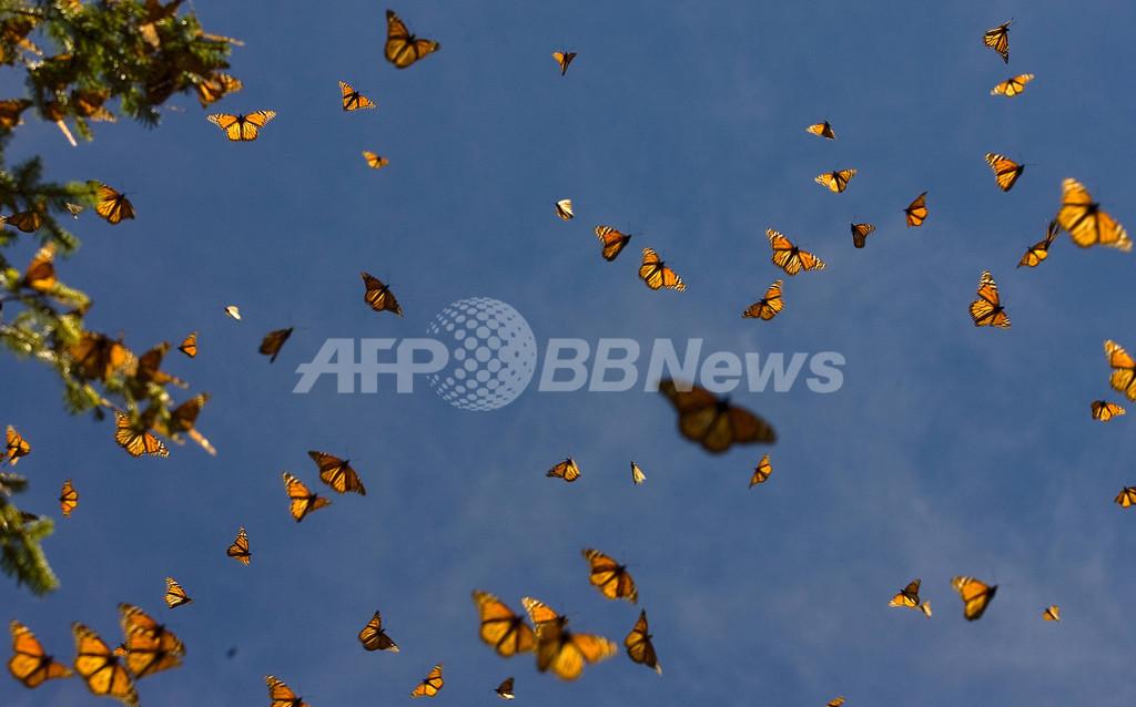 草原性のチョウ、個体数が急減 欧州環境庁