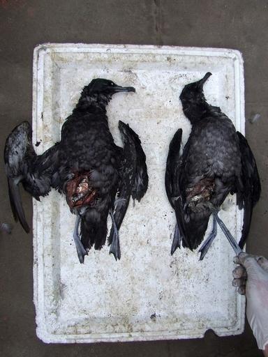 チリ海岸でも海鳥が大量死、漁網が原因か