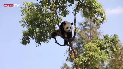 動画:たまらないかわいさ! パンダの木登り