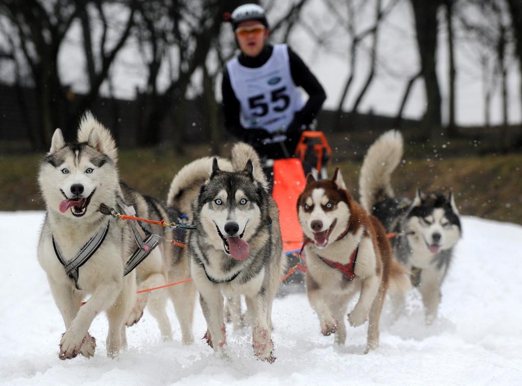 ベラルーシで国際犬ぞりレース開催