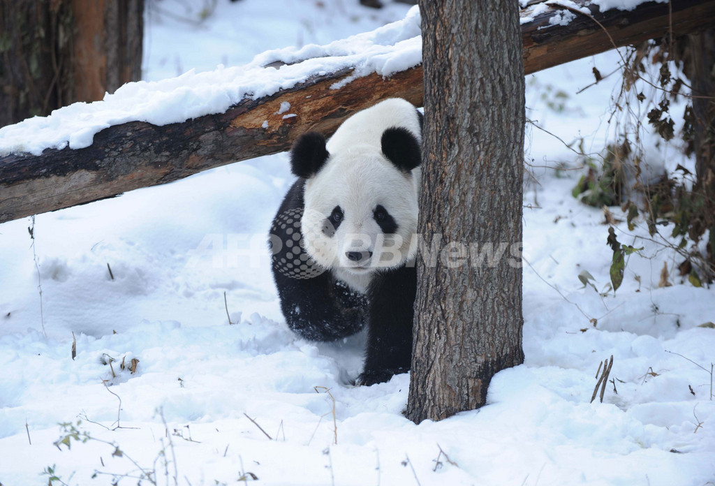 パンダを野生に返す施設の建設に着工、四川省
