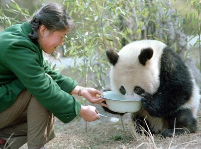 山間で野生パンダも記録 中国「パンダ記者」の物語