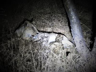 雌ライオンがヒョウの赤ちゃんを「養子」に、わが子と共に育てる インド