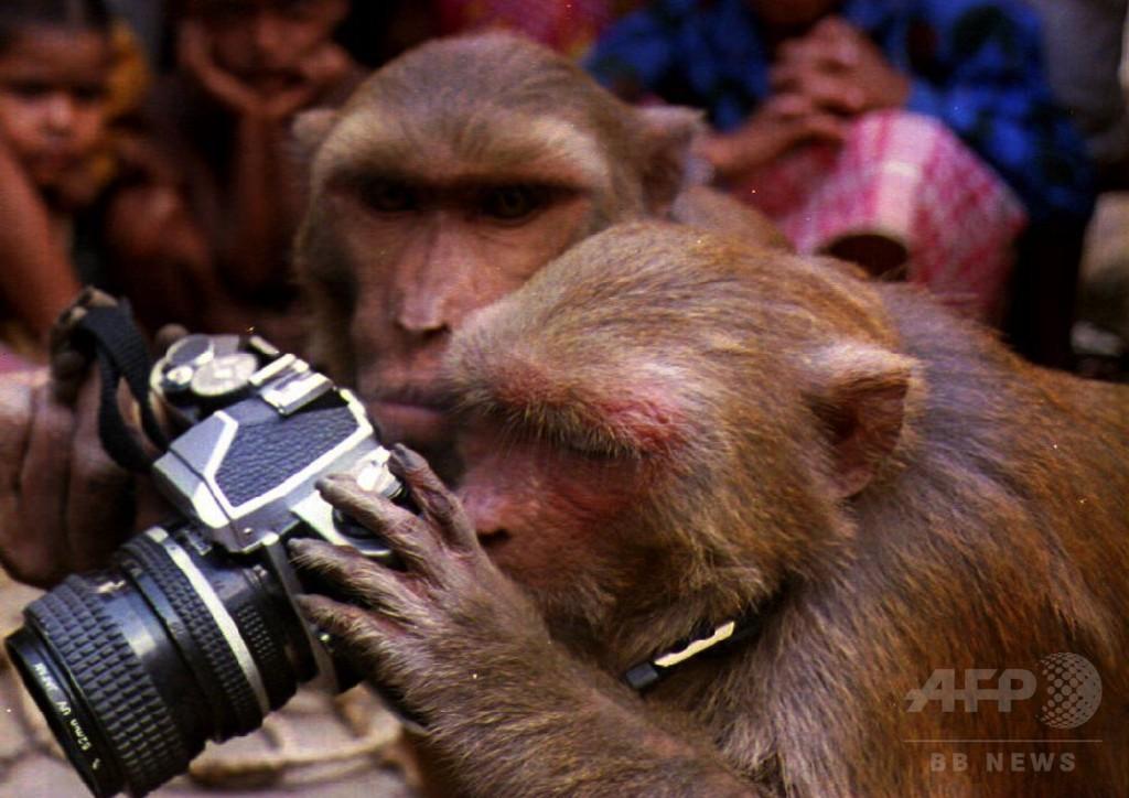 「自撮り」のサルに著作権なし、米裁判所が判断