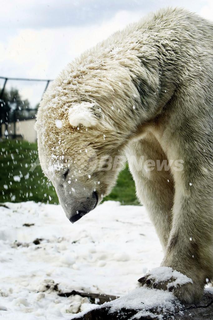 人工雪でご機嫌のホッキョクグマ、オランダ