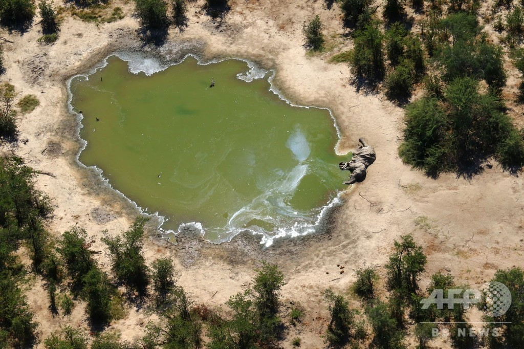 ボツワナの謎のゾウ大量死、細菌の毒素が原因 政府発表