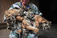 生後1か月の四つ子のアムールトラお披露目、雲南省