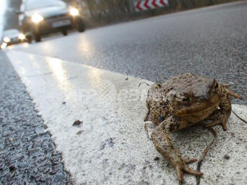 路上のカエルを助けたバス運転手が処罰される、ドイツ