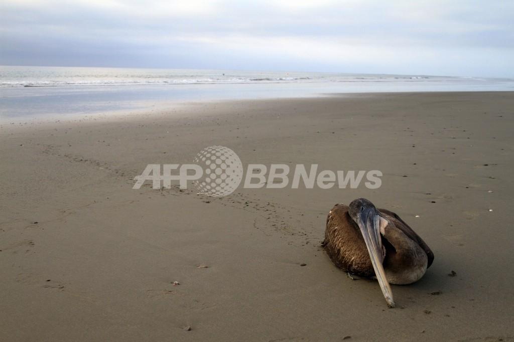 ペルー海岸の大量死、鳥類5000羽・イルカ900匹に