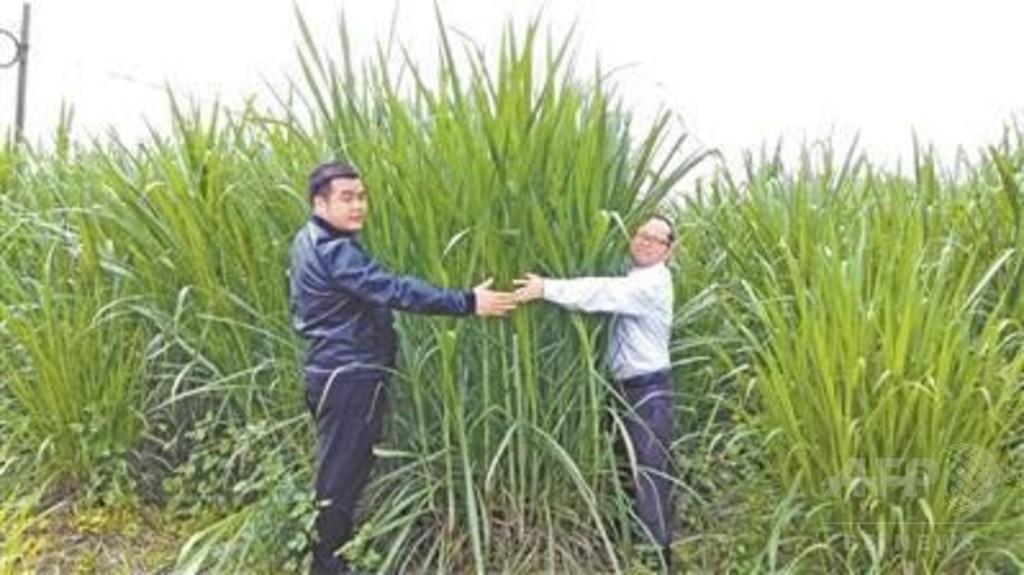 新たな食用植物になるか? 「巨菌草」、中国の研究者が育成