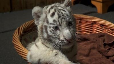 動画:三つ子のホワイトタイガーの赤ちゃん、動物園で公開 中国・昆明