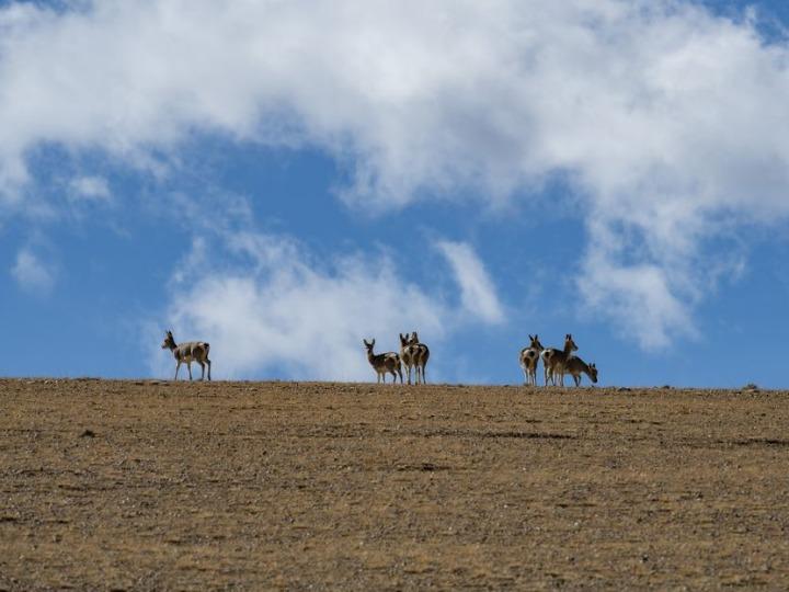 チベット自治区の野生動物が大幅増、保護策が奏功