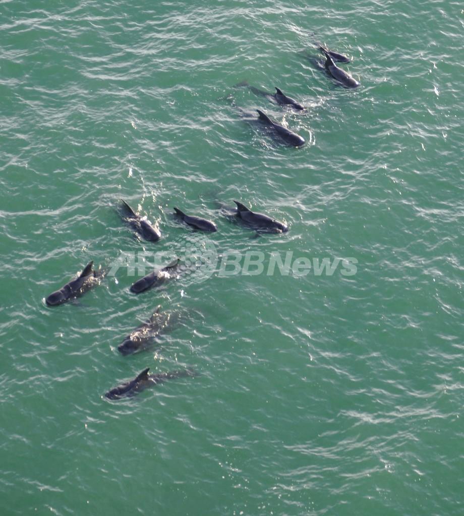 座礁したゴンドウクジラ、捜索を一時中止 米フロリダ