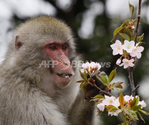 都内で桜が満開に、ニホンザルも大喜び?
