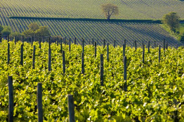 仏シャンパーニュのブドウ畑、世界遺産に登録決定