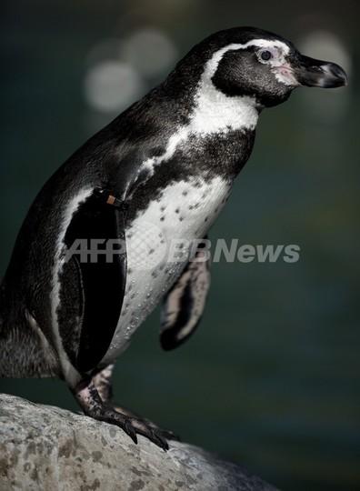 チリのフンボルトペンギンに絶滅のおそれ、調査報告