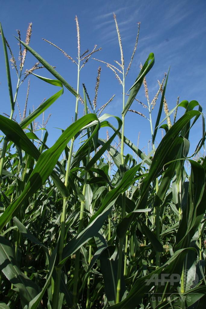 トウモロコシの皮や茎から水素燃料、新製法開発 米研究
