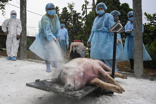 北朝鮮、アフリカ豚コレラの拡大阻止に緊急措置