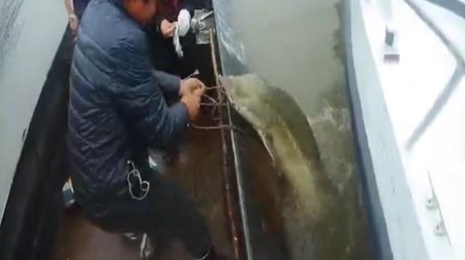 動画:黒竜江で「生きた化石」ダウリアチョウザメが捕獲される