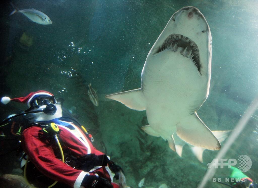 「概して無害」とされるサメ、海水浴客襲い負傷させる 豪シドニー