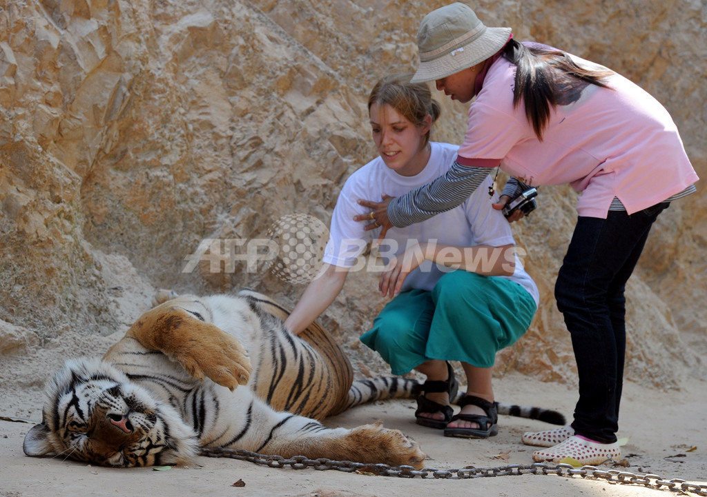 猛獣だけどとっても人懐こいんです、タイ「トラ寺院」のトラたち