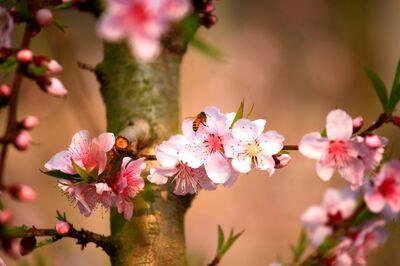 桃の花咲き春めく山東省臨沂市