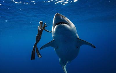 ハワイ沖に巨大ホホジロザメ出現、体長6メートルの雌 ダイバーと泳ぐ