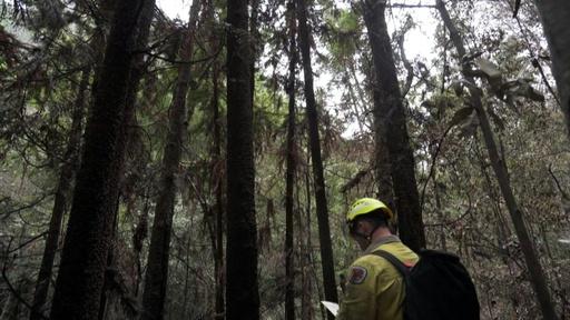 動画:豪森林火災、極秘作戦で「恐竜の木」保護に成功 世界唯一の原生林