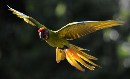 野鳥の楽園、中米コスタリカのコンゴウインコ