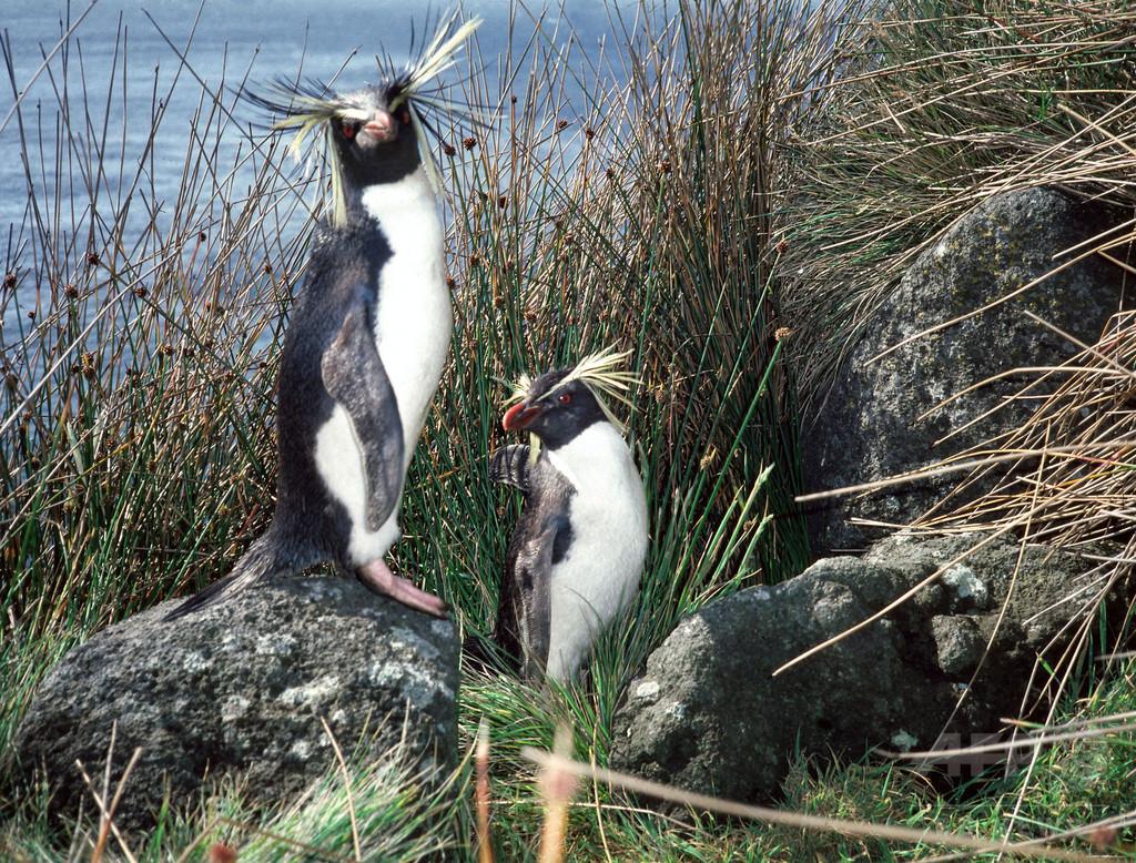 イワトビペンギン、浮気しない極意は数百キロ離れた「別居婚」