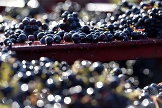 欧州ワイン生産量「戦後最低」に 異常気象が影響