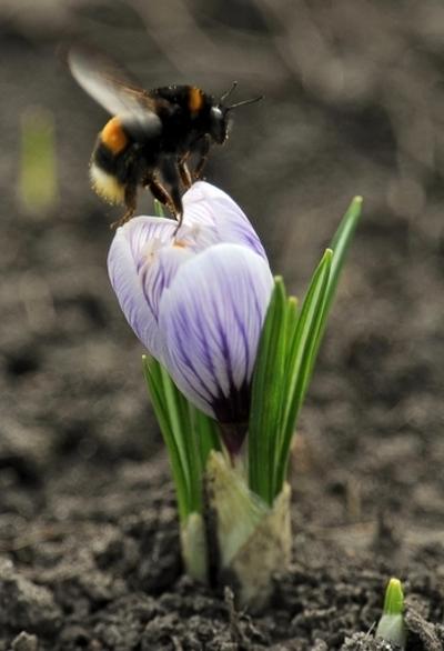 マルハナバチの減少防止にしま模様の花が効果的?英研究