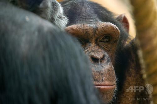 チンパンジーにも「調理」の概念、料理の起源に光 研究