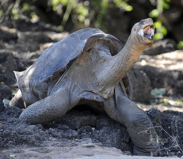 ゾウガメの「ロンサム・ジョージ」 剥製になってガラパゴスに帰還