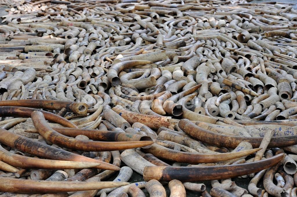 核実験の残留物で象牙の年代測定、違法取引捜査での活用に期待