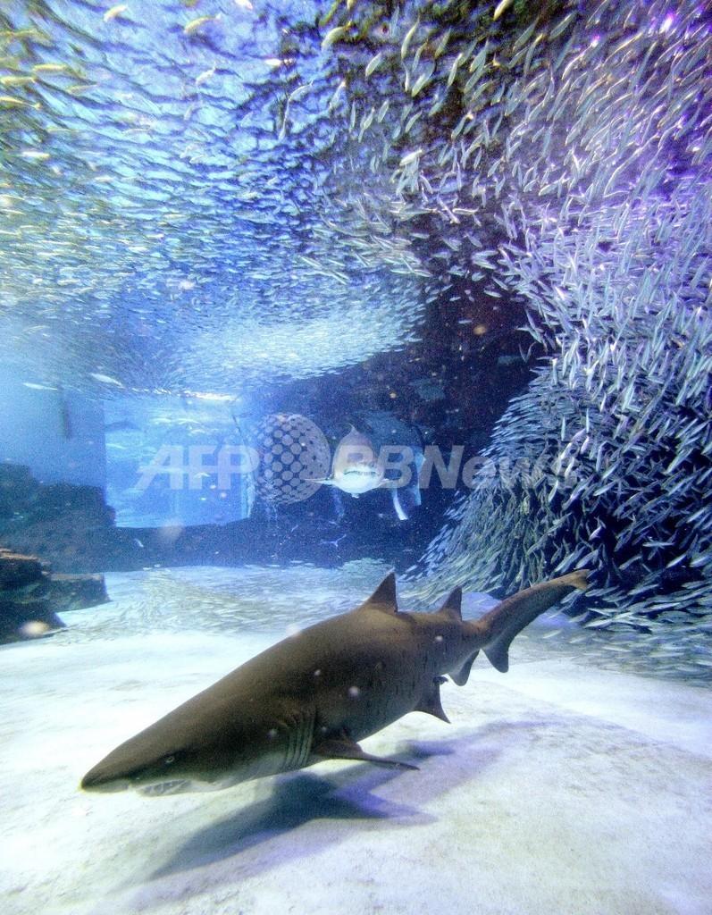 大西洋北東部のサメ、乱獲で絶滅の危機に