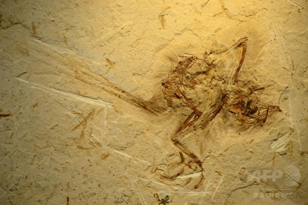 進化の隙間埋める鳥類の立体化石、ブラジルで発見